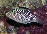 Spotted Puffer - Canthigaster jactator