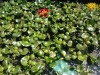 Water Hyacinths Galore!