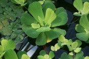 Water Lettuce - Pistia stratiotes - 50 cents ea!