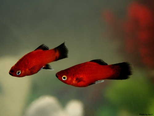 red wag platy aqua animania