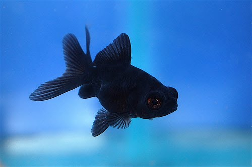 Black moor goldfish aqua animania for What are cold water fish