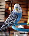 Blue Budgies - $19.99 * - Valid during: AquA Blue$ Bonanza