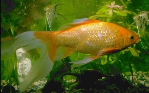 Comet Goldfish - Carassius auratus