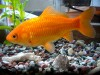 Common Goldfish - Carassius auratus