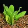 Amazon Sword - Echinodorus amazonicus