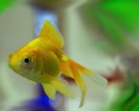 Fantail Goldfish - Carassius auratus