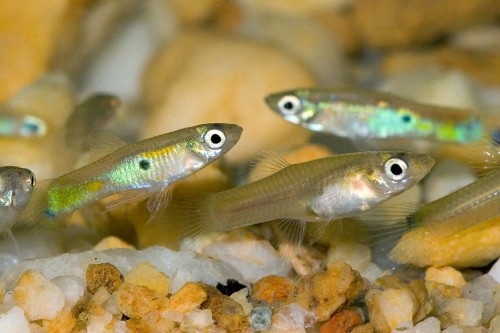 Feeder Guppies - Live Foods