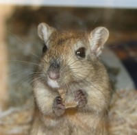 Gerbils - Small Animals