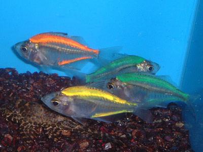 Exotic Freshwater Fish on Glass Fish Jpg