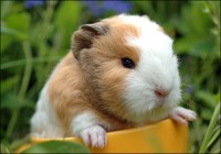 Guinea Pigs - Abyn (Curly), Peruvian, Regular