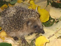 Hedgehog - Special Order