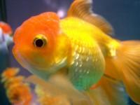 Lionhead Goldfish - Carassius auratus