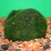 Moss Ball - Chladophora aegagropila