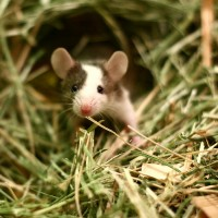 Pet Mice - Hoppers, Coloured, White