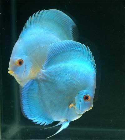 Cobalt blue discus aqua animania for Blue freshwater fish