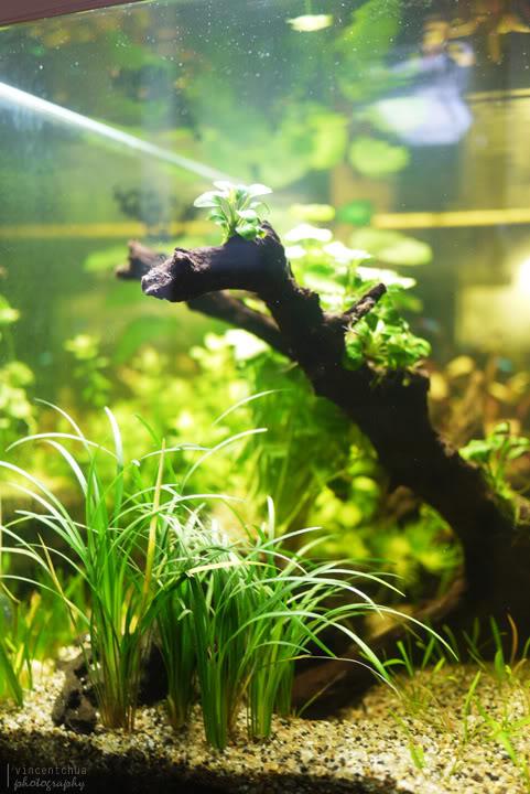 Mondo Grass - Ophiopogon japonica