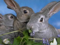 Rabbits - Dwarf, Lop Ear