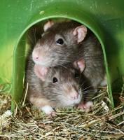 Pet Rats - Coloured