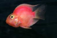 Blood Red Parrot Fish - Cichlasoma sp