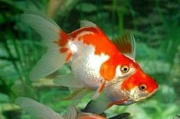 Ryukin Goldfish - Carassius auratus
