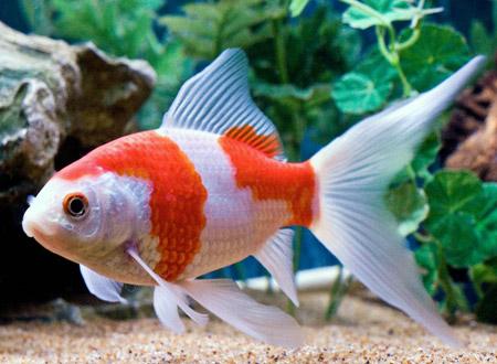 Sarasa comet aqua animania for Ornamental pond fish types