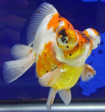 Telescope goldfish aqua animania for Fish pop eye