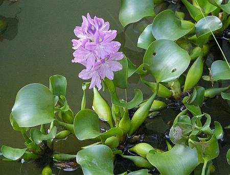 Water Hyacinth - Eichornia crassipes