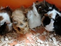 Baby guinea pigs only $19.99 ea. All habitats and homes 20% OFF!