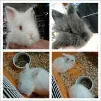 Boxing Week Special... Hand-raised Baby Dwarf Angora Bunnies $19.99!