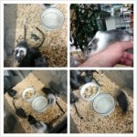 Cute, Friendly, Awesome Little Pets! Gerbils --> $2.99! ALL Gerbil Habitats NOW --> 20% OFF!!! BOXING WEEK SPECIALS Galore!!! Only at AquA AnimaniA 5467 Tecumseh East at Rivard 519 946 AQUA (2782) Pets, Ponds, Fish, Corals and Beyond! Happy New Year from TEAM AQUA!!