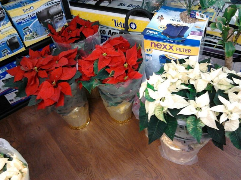 Beautiful, Lush, Healthy Poinsettias only 2.99!